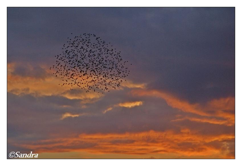 vogelwolk